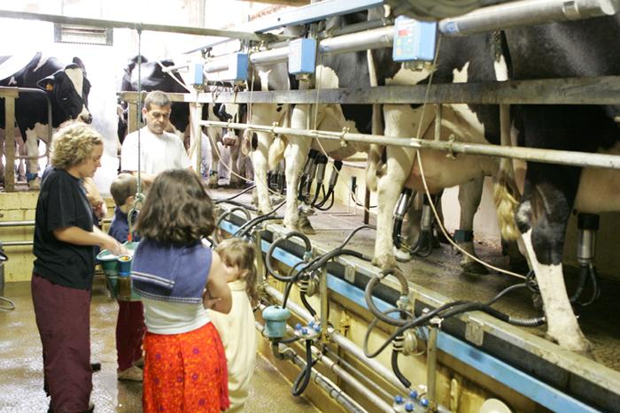 Traite des vaches au camping à la ferme