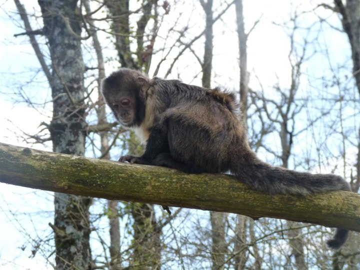 Femelle Capucin à poitrine jaune à La Vallée des Singes