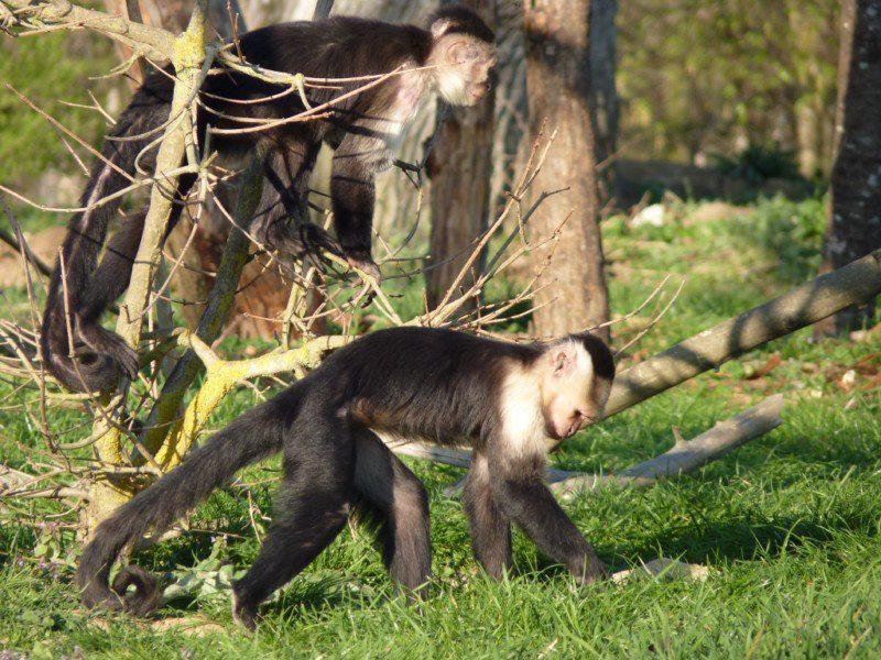 Jeunes mâles Capucins à épaules blanches à La Vallée des Singes