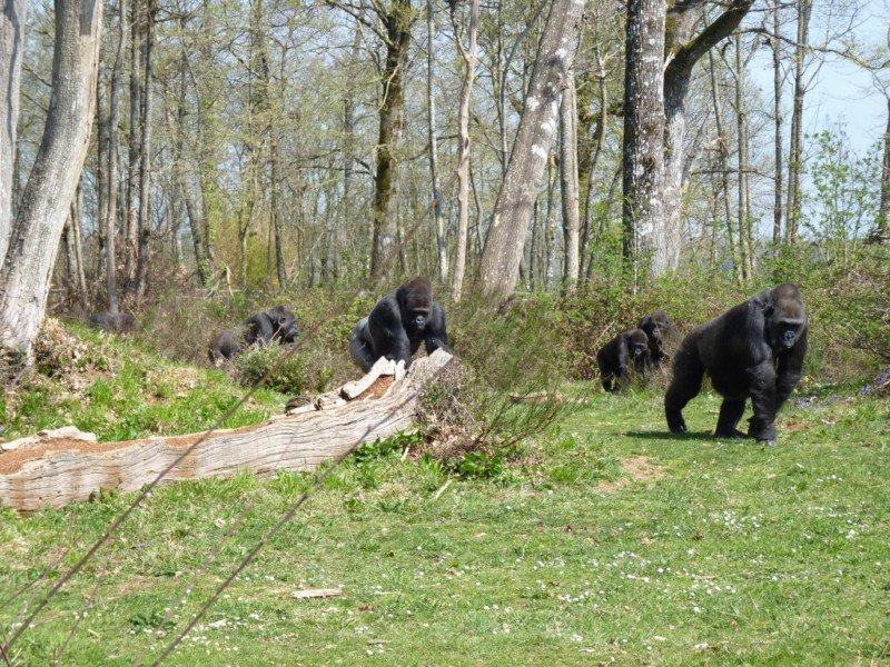 Gorilles des plaines de l'Ouest à La Vallée des Singes