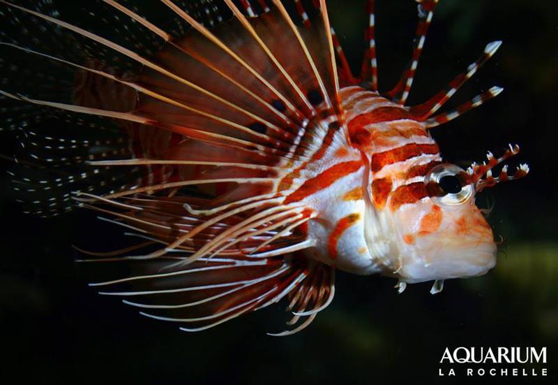 Le poisson scorpion à antennes à admirer à l'Aquarium de La Rochelle