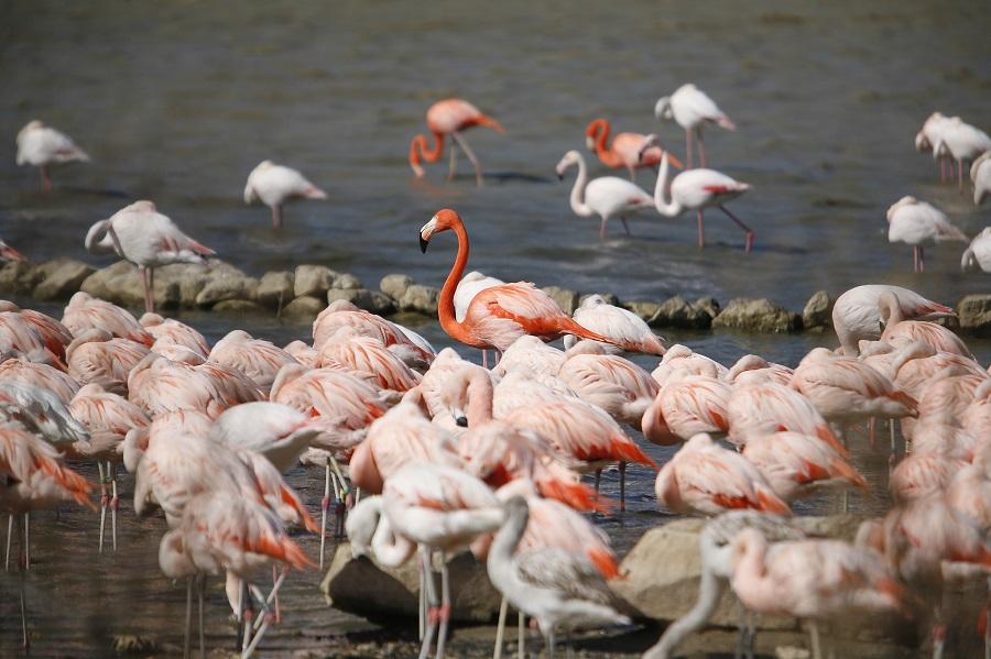 Les flamants roses sur les étangs camarguais