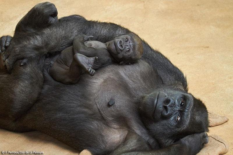 L'espace des grands singes au zoo de la Palmyre
