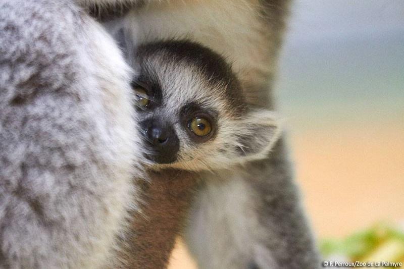 Bébé lémur catta au zoo de la Palmyre