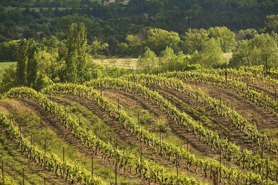 Les vignes de Châtillon-en-Diois