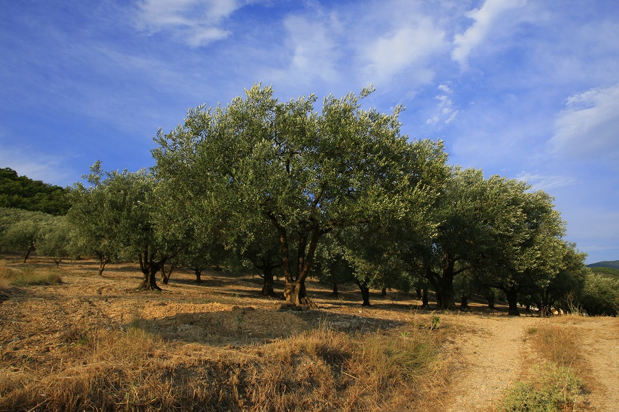 La Drôme Provençale, pays de l'olivier