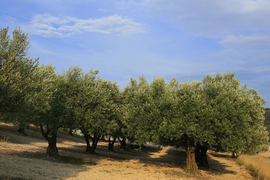 La Drôme Provençale des oliviers