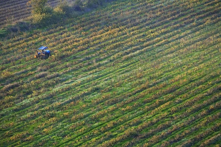 Culture de la vigne à Pierrefeu-du-Var