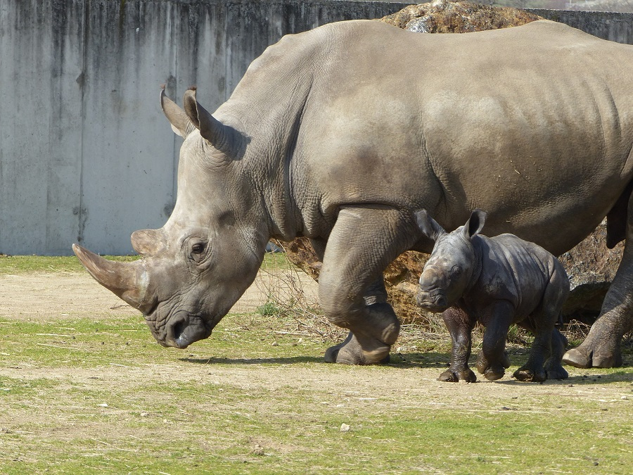 Rhinocéros blancs à Peaugres