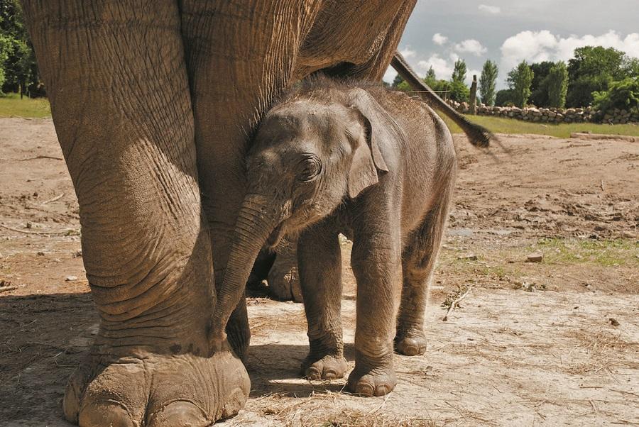 Les éléphants du PAL