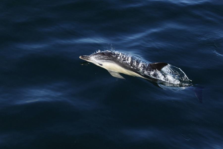 Dauphins aux Sept-Îles
