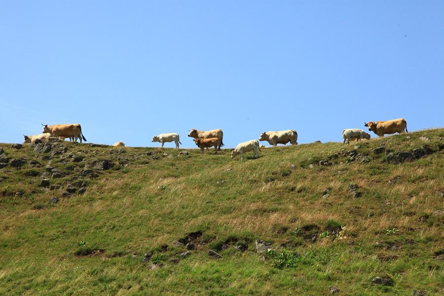 Plateau et vaches d'Aubrac