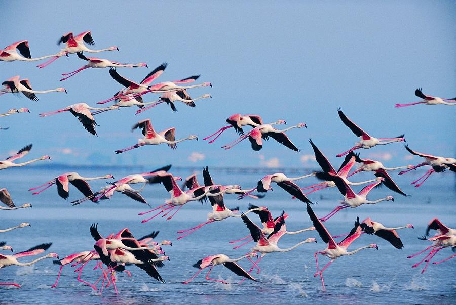 Flamants roses dans le delta de l'Ebre