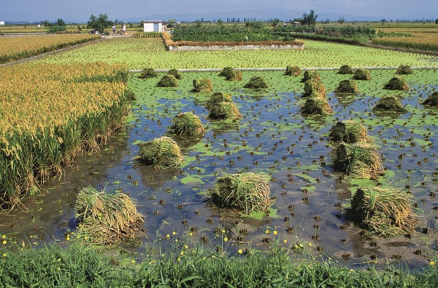 Culture du riz dans le delta de l'Ebre