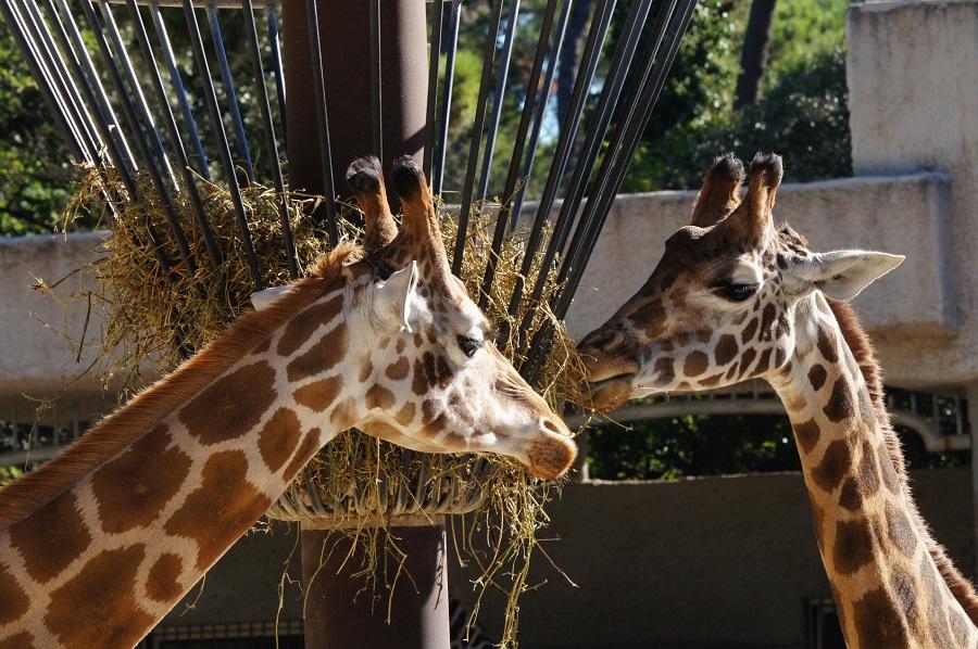 Girafes au Zoo de la Palmyre