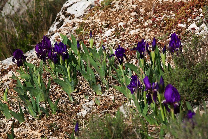 Iris sauvages des Cévennes