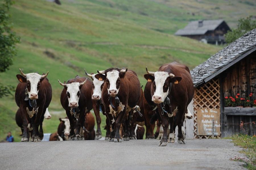 Vaches d'Abondance