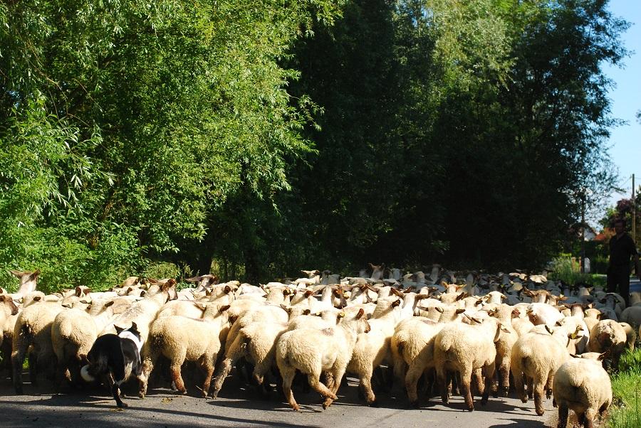 Moutons de pré-salé