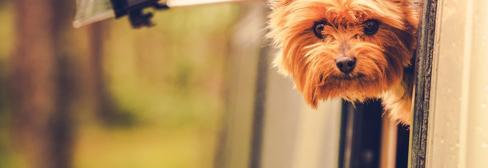Kleiner Hund schaut aus Wohnmobilfenster