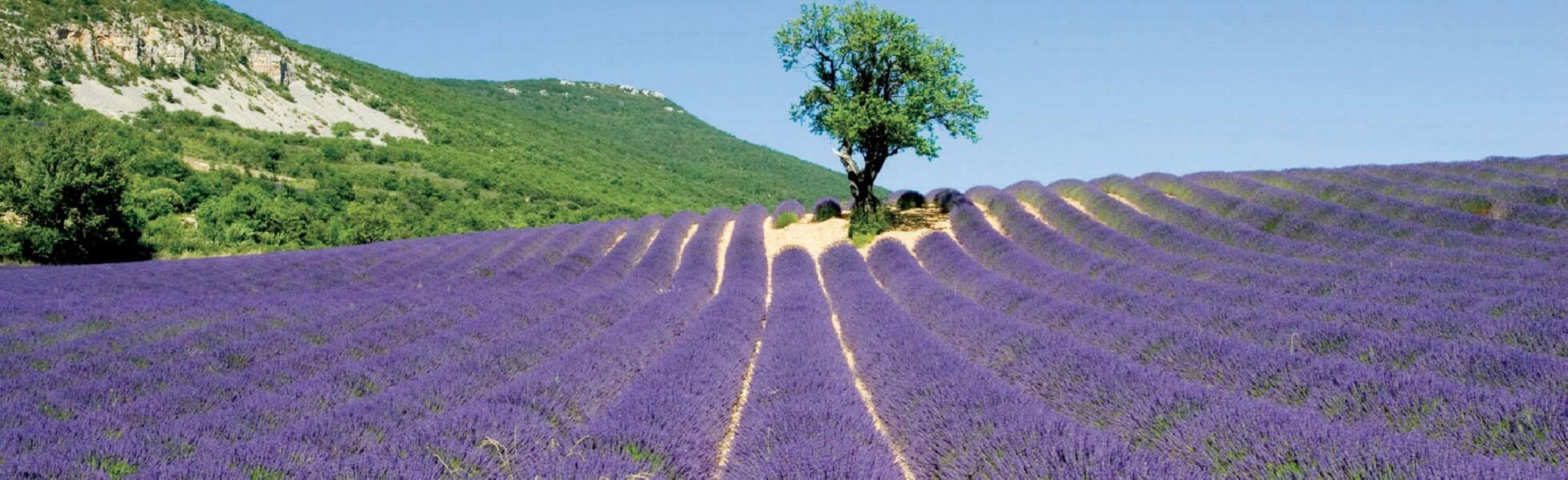 Les Lavandes Drôme Provençale – Rémuzat / Drôme